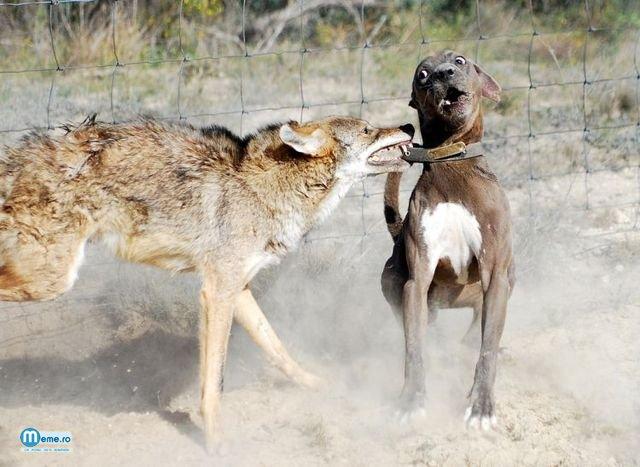 Caine violent