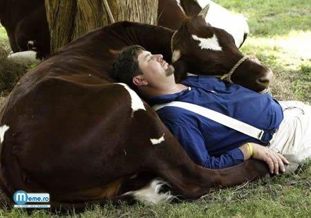Doarme cu vaca