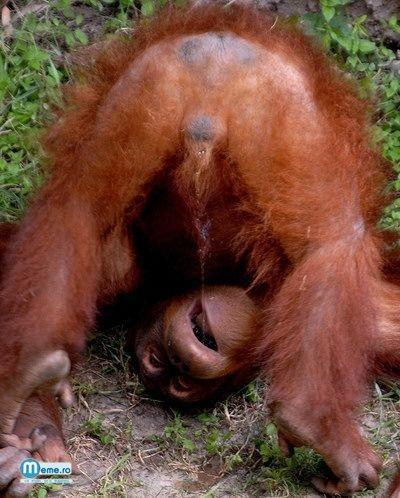 Maimuta scarboasa