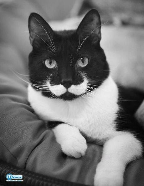 Pisica mustacioasa