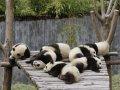 Usi Panda plictisiti