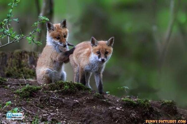 Pui de vulpe adorabili
