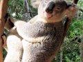 Koala dragut