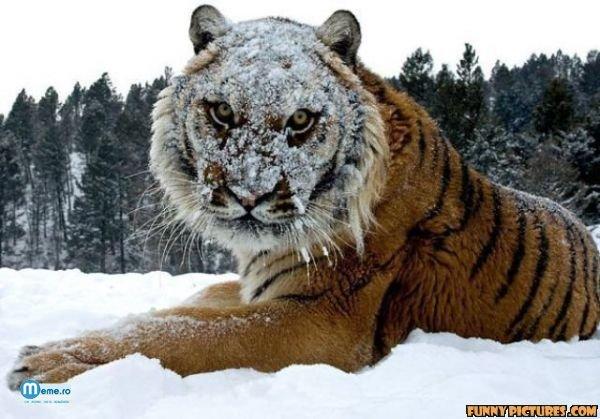 Tigru inghetat